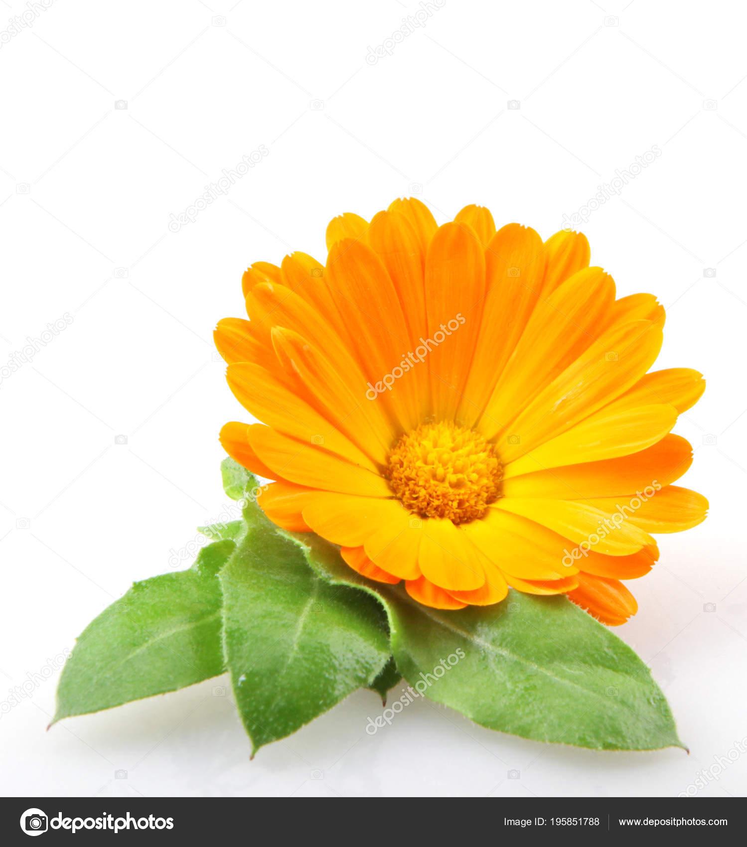 afbeelding-goudsbloem-calendula-officinalis..jpg